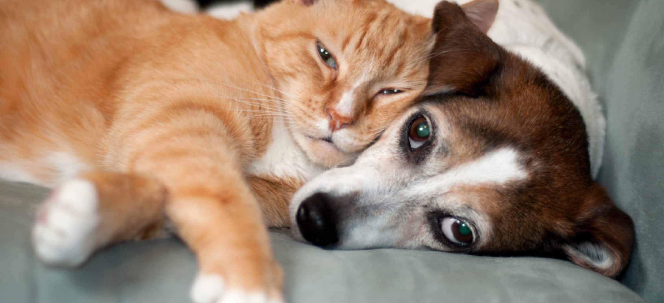 Rode kater ligt met zijn kop uit te rusten op een klein wit bruin hondje