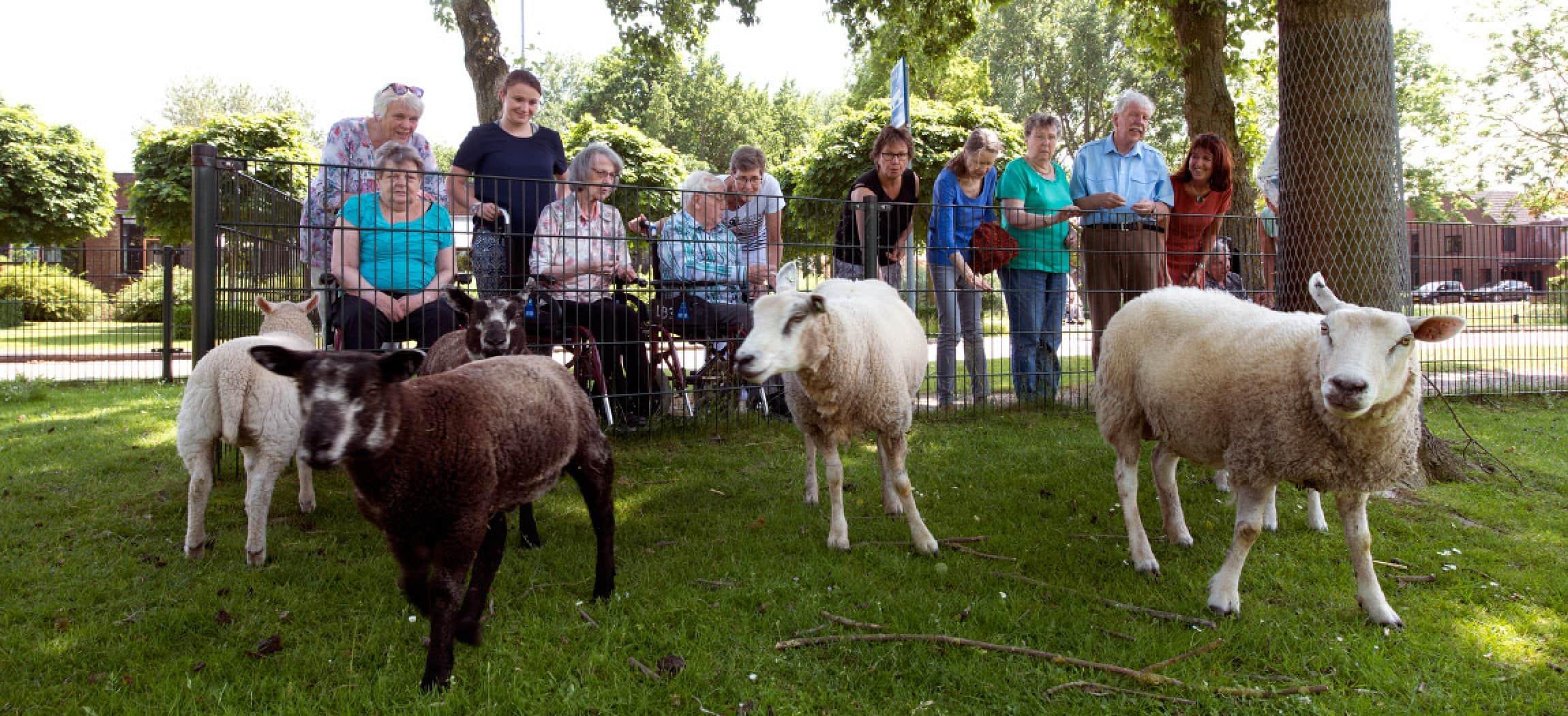 Schapen in een schapenweide met blije oudere mensen achter een laag hekje